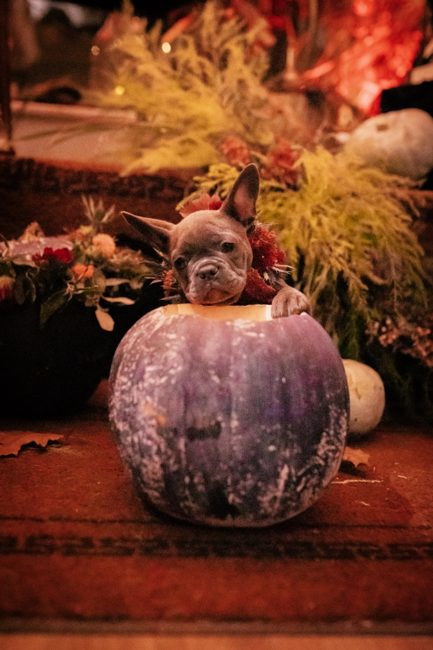 French bulldog puppy with his paw on a pumpkin
