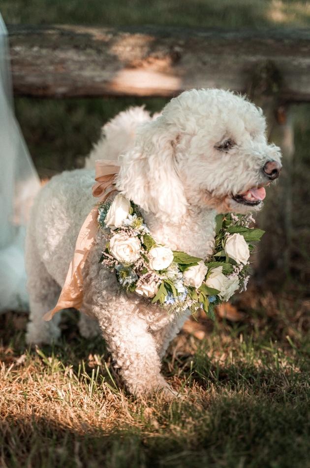 white dog wearing white floral wedding collar
