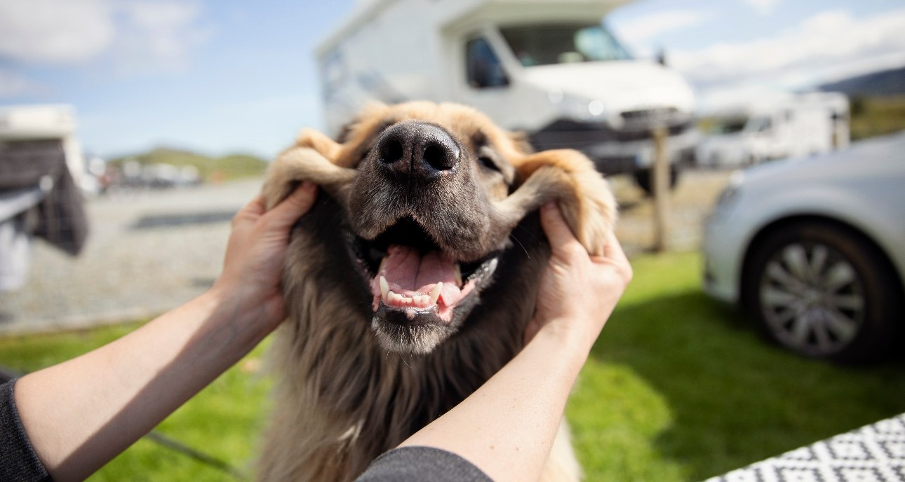 Happy and smiling Leonberger dog on a campsite
