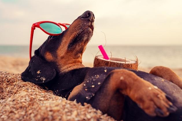 Daschund sunbathing