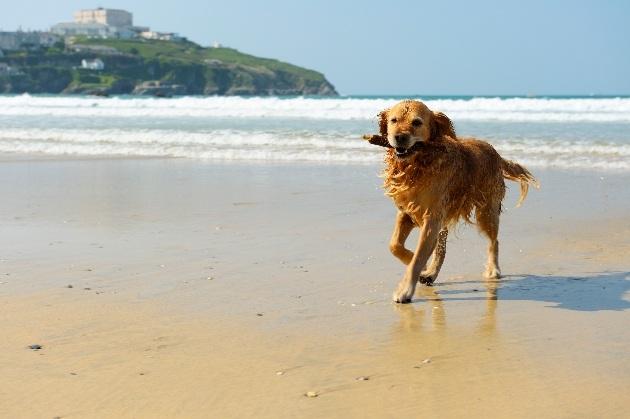 Wet golden retriever carrying a stick and enjoying himself on the beach