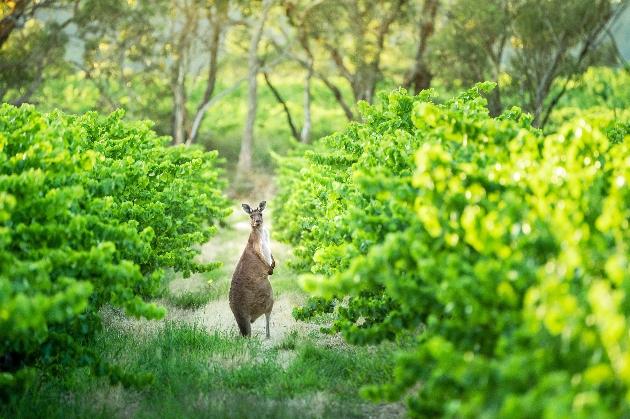 kangaroo in vineyards